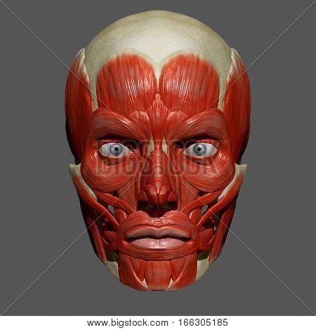 The facial muscles are a group of striated skeletal muscles innervated by the facial nerve (cranial nerve VII) that, among other things, control facial expression.