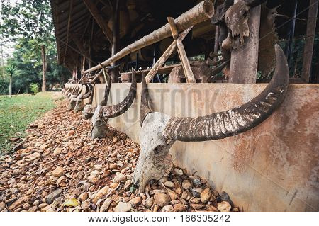 Close focus on aged skull of dead buffalo with long horn put on brown stones and lean on wall in outdoor park.