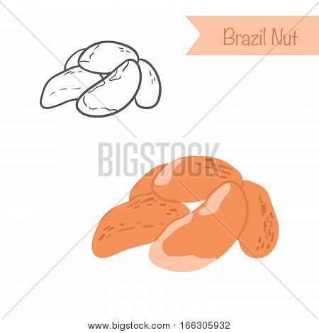 Hand drawn outlined and colored vector brazil nut