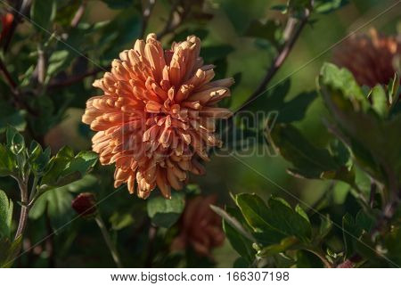 Red and pink dahlia in a green garden with shallow depth of field