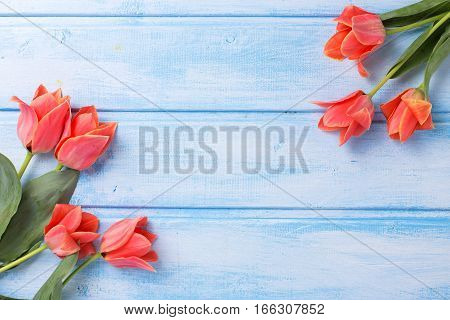 Frame from aromatic coral tulips on blue painted wooden background. Selective focus. Place for text. Flat lay.