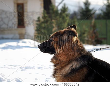 Portrait of a beautiful guard dog house in the background. Snow winter