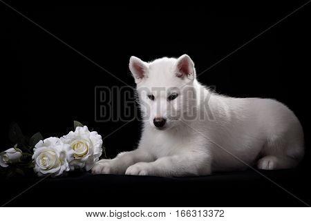 white siberian husky puppy and white rose on black