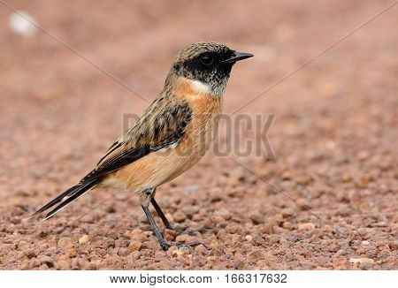 beautiful male Eastern Stonechat (Saxicola stejnegeri) standing on ground