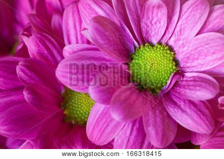 Macro violet flower and purple petals. Open flowers. Very detailed. Romantic background for valentines party, postcard or other decorative use.