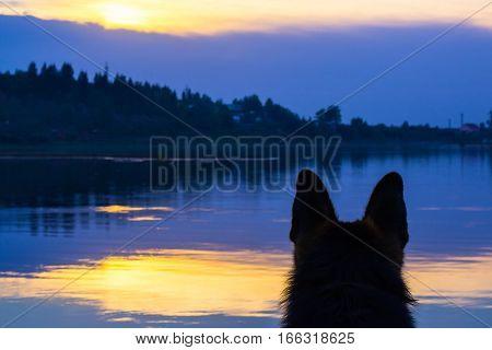 Dog German Shepherd On The Coast Of The Lake