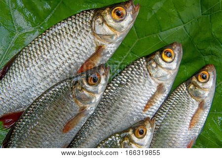 Close Up View Of Several Common Rudd Fish On Natural Background.