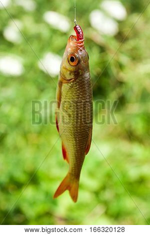 Single Common Rudd Fish On The Hook.