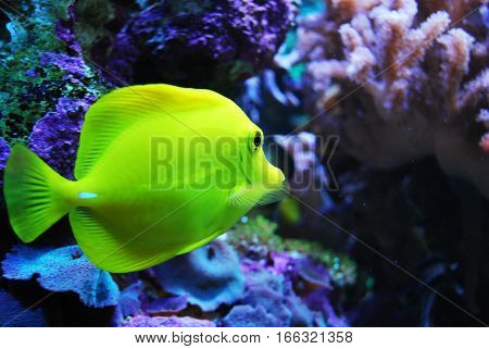 Underwater world with beautiful yellow fish in corrals