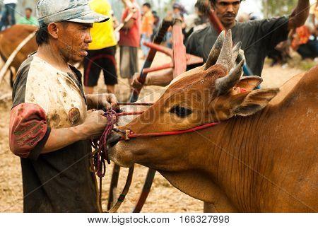 Batusangkar, Indonesia, August 29, 2015: Man holding cow at bull race Pacu Jawi, West Sumatra on August, 2015
