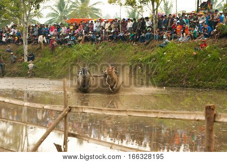 Batusangkar, Indonesia, August 29, 2015: Two cows and one man in full action at cow race Pacu Jawi, West Sumatra, August 29 2015