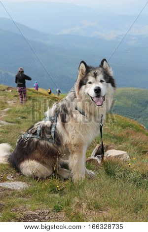 big Malamute on the top of the mountain