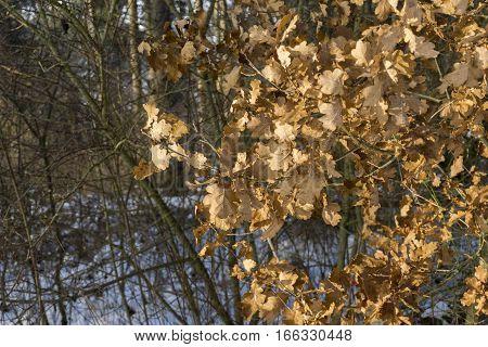 Closup of Oak Leaves in Winter. Oak Tree