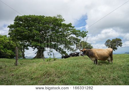 cow outdoors in Costa Rica highland pasture