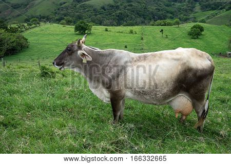 dairy cow outdoors in Costa Rica highlands