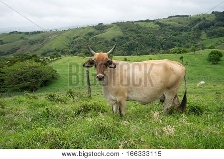 dairy cow on pasture in Costa Rica