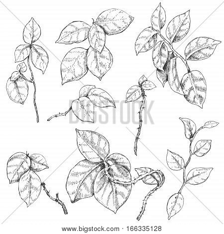 Hand drawn branches and leaves of tropical plants. Liana sketch.