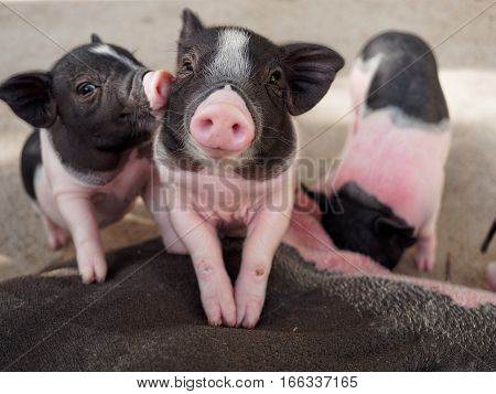 Pink and black pigs kissing show love and friendship in the farm