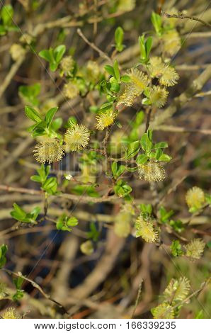 Blooming branches of salix tree selective focus