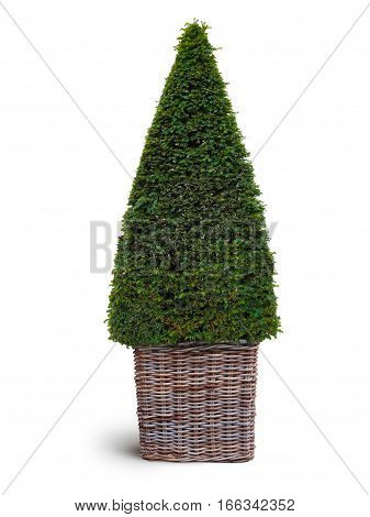 thuja plant in wickerwork basket isolated on white background