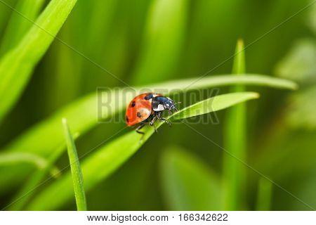 Beautiful ladybug close up. Green blade of grass