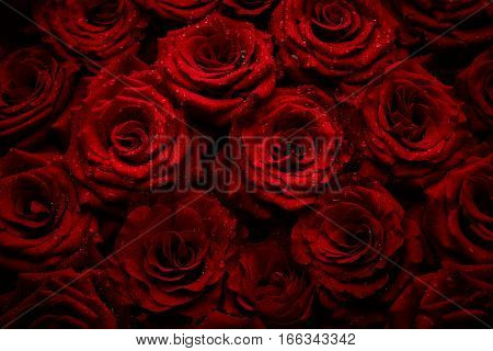 Beautiful red roses background. Flowers close up