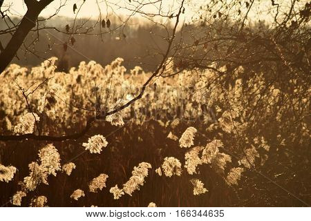 A dense reed illuminated by the sunset in the bogs of Lake Iseo - Brescia - Lombardy - Italy