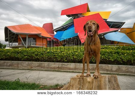 June 13 2016 Panama City Panama: the colourful building of Biomuseum with a tourist's dog in the front