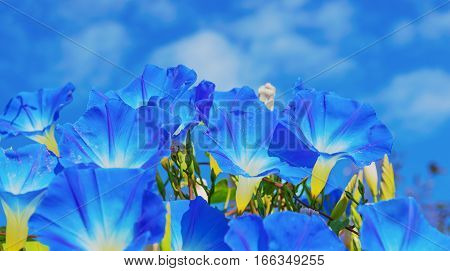 Heavenly Blue Ipomoea (morning Glory) Flowers