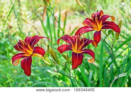 Red Daylily (hemerocallis) Closeup In The Garden