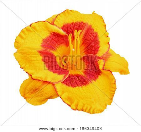 Yellow Daylily (hemerocallis) Isolated On White