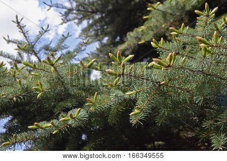 The young buds on the branches of spruce. Growth time. Spring. Summer. Sunny day. Regeneration. Close-up. Outdoors. Walk through the forest.