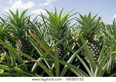 Green Pineapple Plantation under blue sky ready for harvest