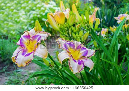Flowers of multicolored daylilies (hemerocallis) in the garden