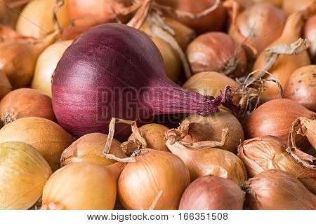 Small onions for planting, golden-yellow and purple, closeup.