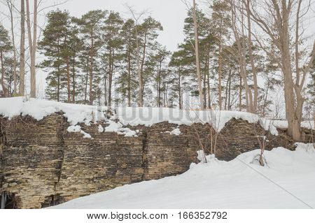 A row of Scot's pines growing on a limestone cliff background