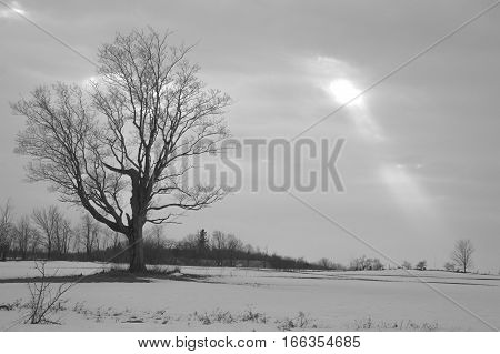 A single maple tree is silhouetted on a grey overcast winter day with a break in the clouds and a single shaft of sunbeam shining on another tree.