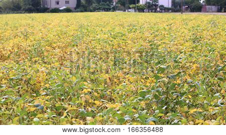 field cultivated with soybean seedlings in summer