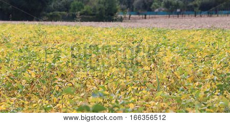 Large Field Cultivated With Soy Planting