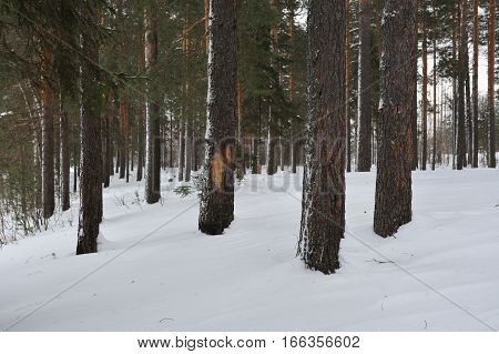 Landscape view of the pine forest by the snowfall