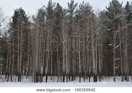 Aspen Trees Wall