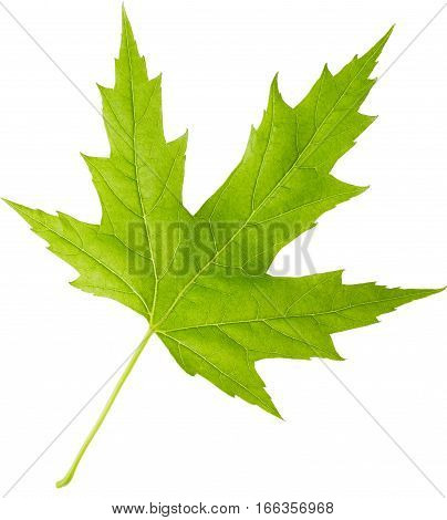 Maple green leaf isolated on white background