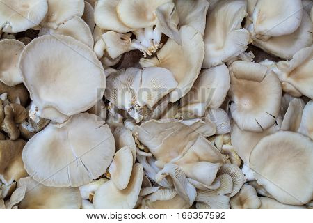 Pleurotus mushrooms background. Macro. Pleurotus is a genus of gilled mushrooms which includes one of the most widely eaten mushrooms, P. ostreatus.