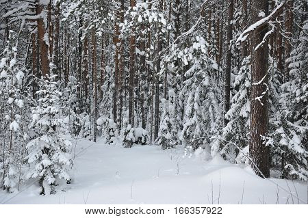Landscape. snow covered forest view in the middle of winter.