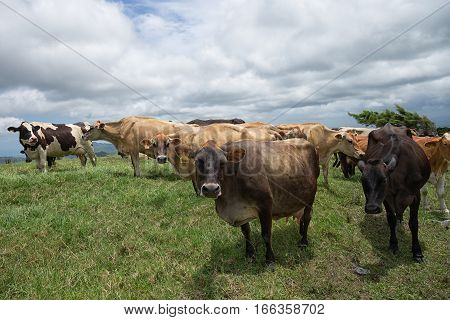 cow outdoors on highland pasture in Costa Rica