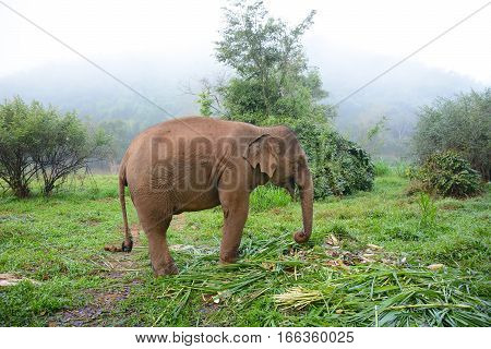 CHIANG RAI THAILAND - JANUARY 8 2017: Elephant Feeding in the morning mist at the Anantara Golden Triangle Elephant Camp a charity designed to help elephants and their handlers.