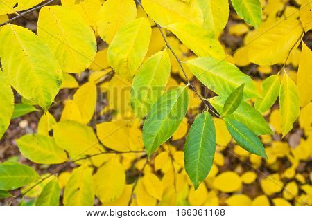 Yellow green autumn leaves - season specific natural background