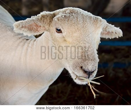 Newly shorn sheep eating a strand of hay