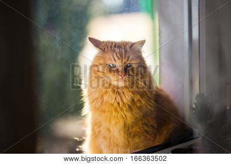 Ginger cat in morning light, close up photo