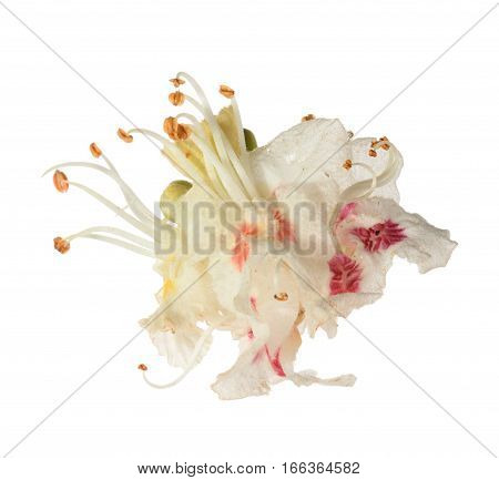 Horse-chestnut (aesculus Hippocastanum, Conker Tree) Flower Isolated. Without Shadow